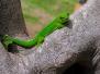 Grand gecko vert malgache