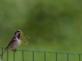 Le mâle à la construction du nid