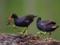 Offrande pour la construction de nid