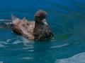 Puffin du Pacifique en soin à la SEOR