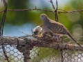 les nids des tourterelles sont loin d'être des chefs-d'œuvres, juste de quoi se poser