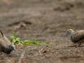 La roulade du mâle pour séduire la femelle tourterelle