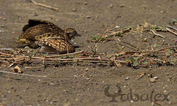 caille male fait l'oiseau blessé