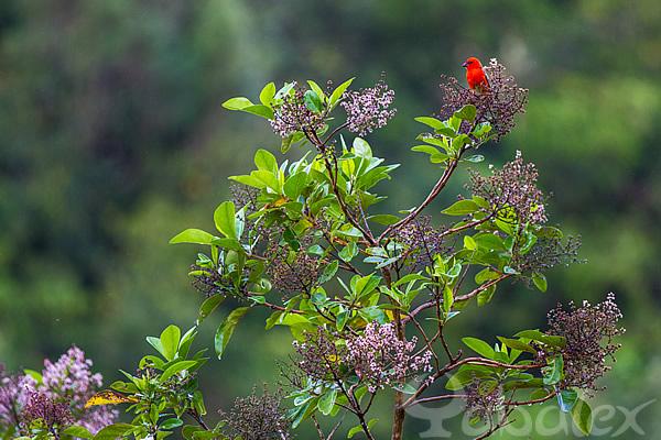 Cardinal sous une petite averse