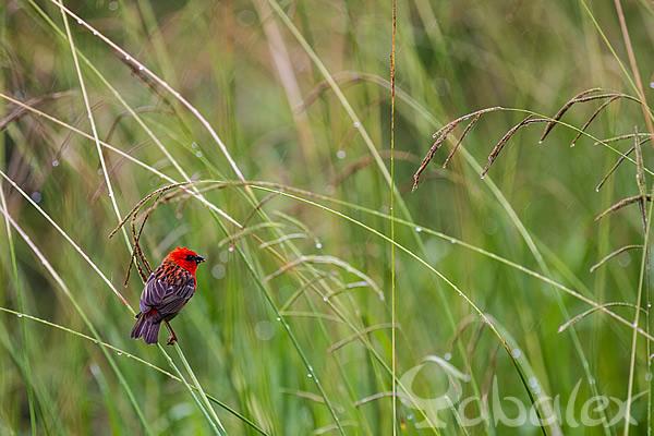 Cardinal mâle qui se nourrit sous la pluie