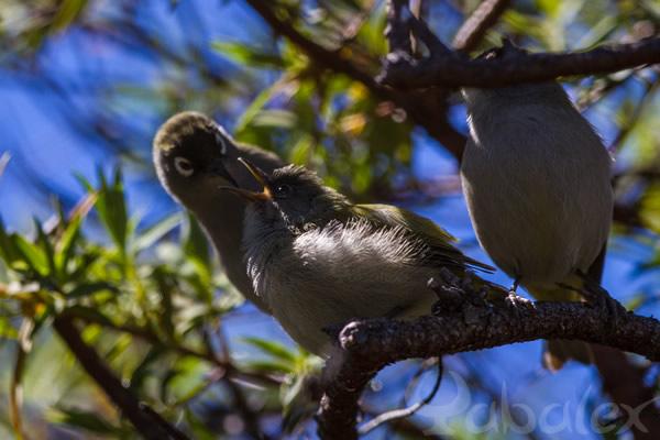 Oiseau-lunettes vert nourrissant un jeune