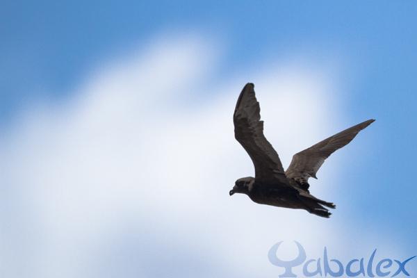 Petrel noir relaché