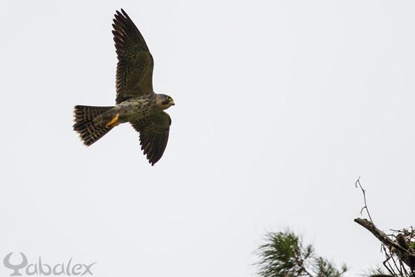 Falco concolor - Yabalex