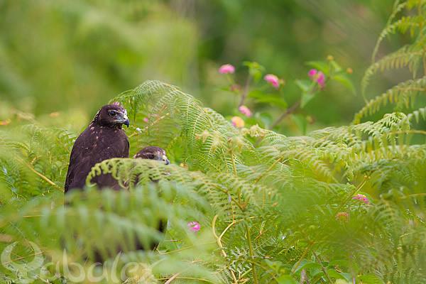 jeune papangue au nid