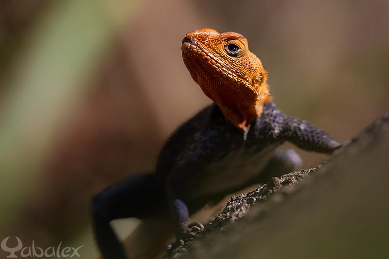 Une tête de dragon pour se beau mâle agama agama