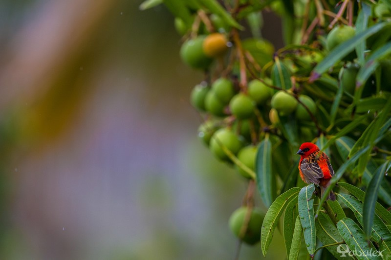 foudi de madagascar - cardinal