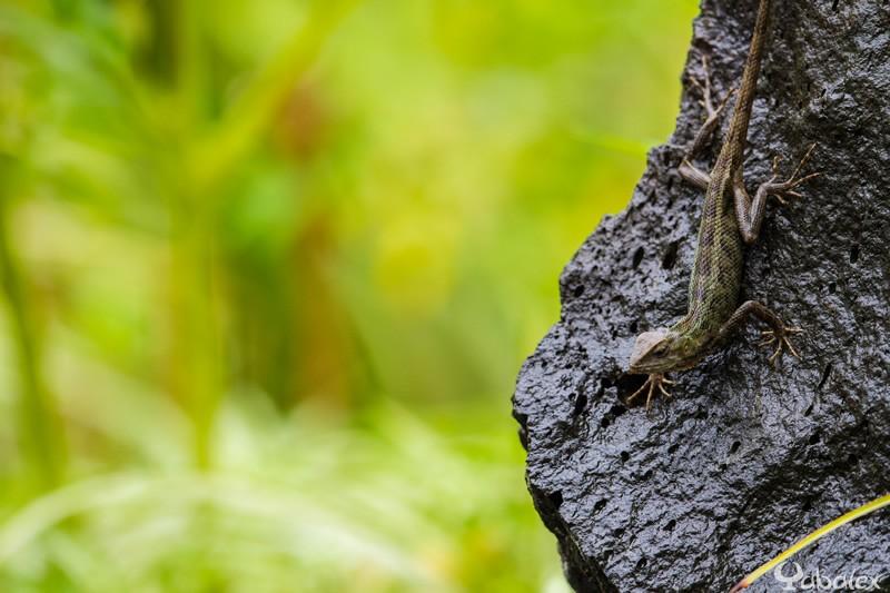 caméléon - agame alrequin