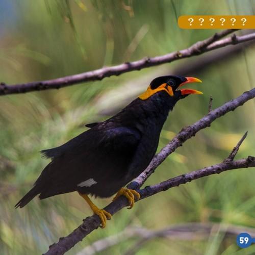 mainate dans l'essentiel des oiseaux réunionnais - Yabalex - SEOR - Orphie