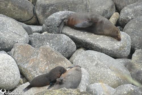 otaries du Cap Foulwind
