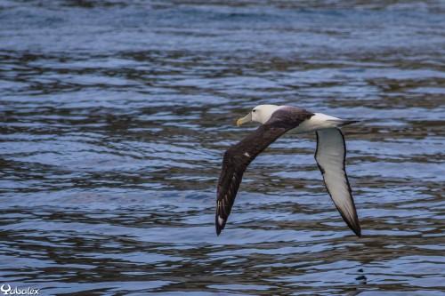 Albatros - Plus de 3m d'envergure