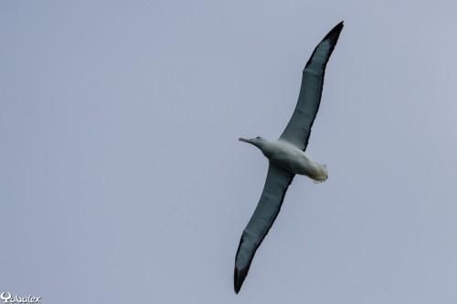 Royal Albatrosse - Un géant
