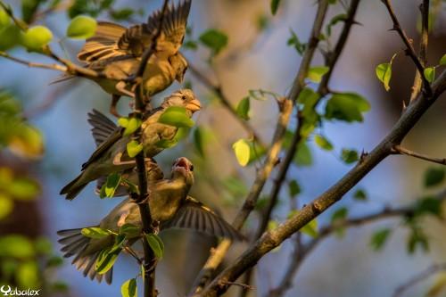 jeunes et femelle quéléa quéléa