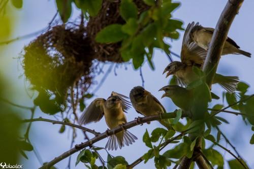 Veuve dominicaine à la Réunion femelle et juvéniles