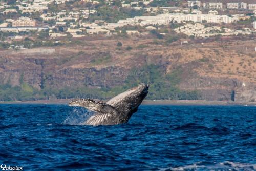 Yabalex_MG_7440 - Baleine à bosse au large de Saint-Gilles