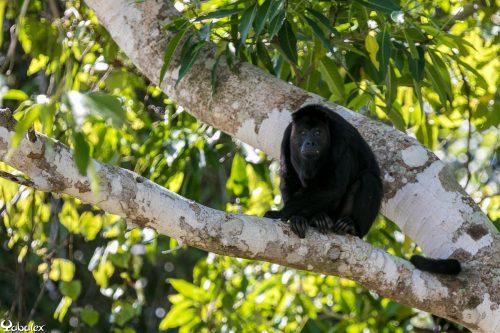 singe hurleur au Mexique