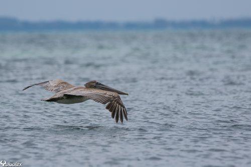 Cormoran à Cancun