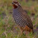 Caille de l'Inde - Perdicule rousse-gorge - Perdicula asiatica - Jungle Bush Quail