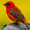 Cardinal - Foudi rouge - Foudia madagascariensis - Red Fody