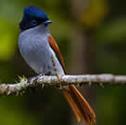 Chakouat - Oiseau la vierge - Terpsiphone de Bourbon - Terpsiphone bourbonnensis - Mascarene Paradise Flycatcher