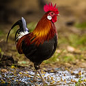 Coq sauvage - Coq bankiva - Gallus gallus - Red Junglefowl