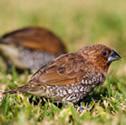 coutil - Capucin damier - Lonchura punctulata - Scaly-breasted Munia