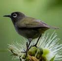 oiseau-lunettes vert - Zostérops des Mascareignes - Zosterops borbonicus - Reunion Grey White-eye