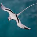 paille-en-queue - Phaéton à bec jaune - Phaethon lepturus - White-tailed Tropicbird