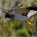 Papangue - Busard de Maillard - Circus maillardi - Reunion Harrier