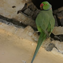 Perruche verte - Perruche à collier - Psittacula krameri - Rose-ringed Parakeet