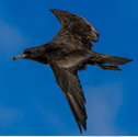 Puffin fouquet - Puffinus pacificus - Wedge-tailed Shearwater