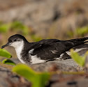 Puffin Tropical - Puffinus bailloni - Tropical Shearwater