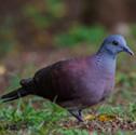 Ramier - Pigeon de Madagascar - Nesoenas picturata - Malagasy Turtle Dove