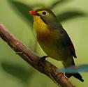 Rossignol du Japon - Léiothrix jaune - Leiothrix lutea - Red-billed Leiothrix