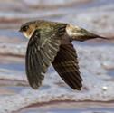 Salangane - Salangane des Mascareignes - Aerodramus francicus - Mascarene Swiftlet