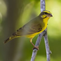 Serin péi - Serin du Mozambique - Crithagra mozambica - Yellow-fronted Canary