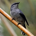 Tuit-tuit - Échenilleur de La Réunion - Coracina newtoni - Reunion Cuckooshrike