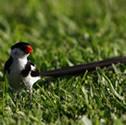 Veuve - veuve dominicaine - Vidua macroura - Pin-tailed Whydah