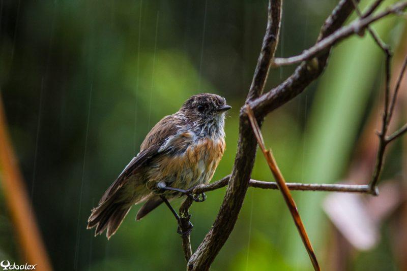 tec-tec - tarier de la réunion sous la pluie