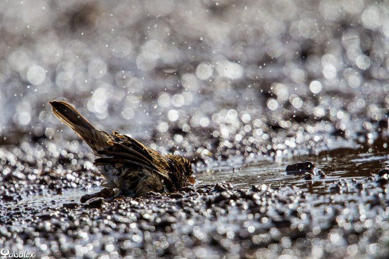 moineau dans l'eau