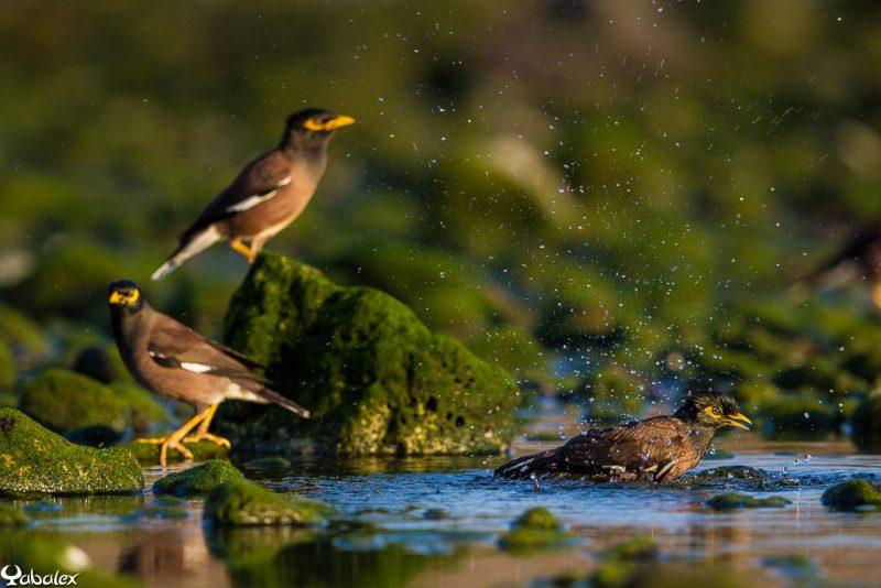 martin dans l'eau du lagon réunion