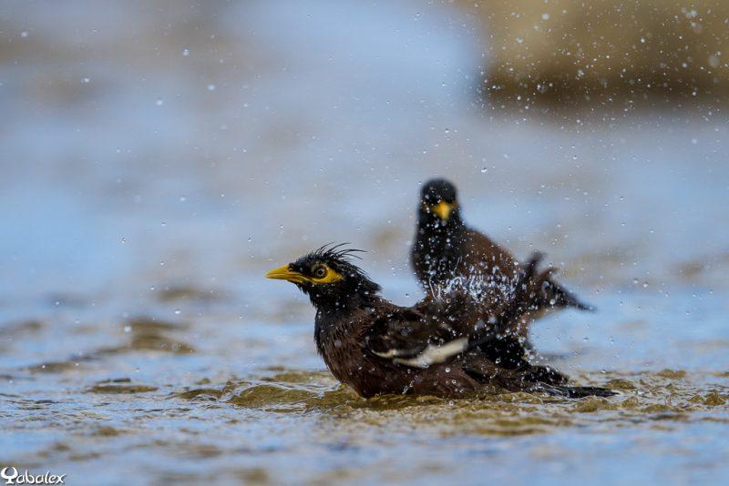 martin au bain dans l'eau salé de saint-gilles