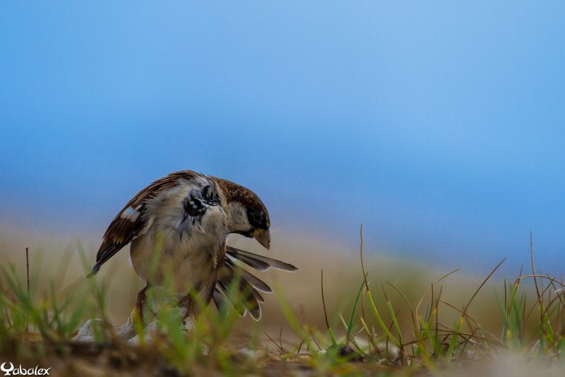 moineau qui fait son lissage de plumes