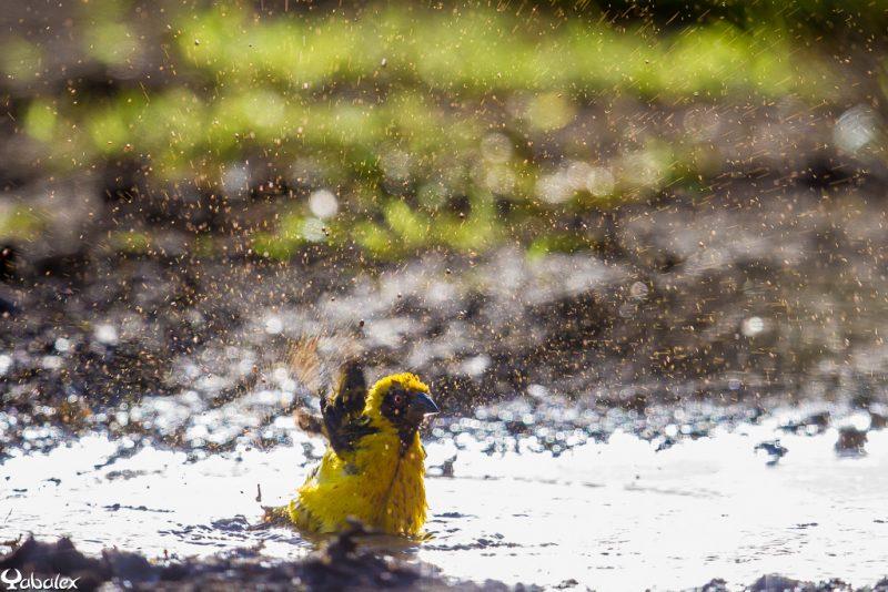 bellier (tisserin gendarme) et bain de boue