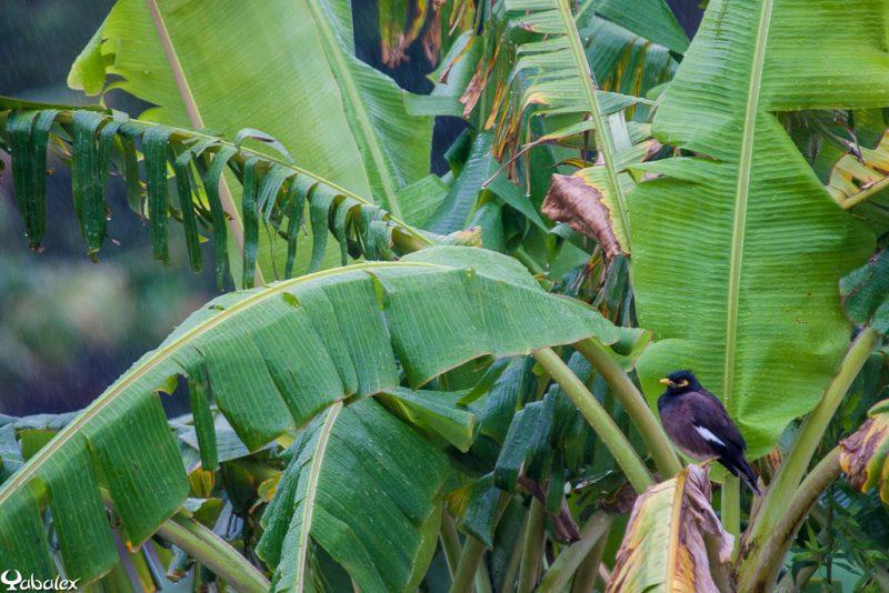 martin triste sous la pluie - yabalex photo d'oiseaux