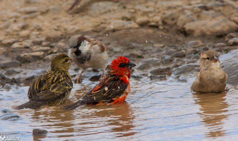 photo que j'ai utilisé dans identification : moineau male et femelle, cardinal male et femelle